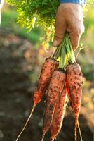 農園で収穫した人参を持つ手元 20027005610| 写真素材・ストックフォト・画像・イラスト素材|アマナイメージズ