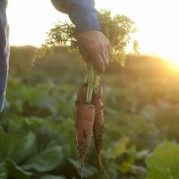 農園で収穫した人参を持つ手元 20027005613| 写真素材・ストックフォト・画像・イラスト素材|アマナイメージズ