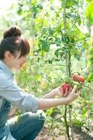 トマトを収穫する女性