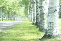 白樺並木 20027010545| 写真素材・ストックフォト・画像・イラスト素材|アマナイメージズ