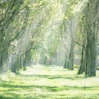 日差しの差し込むポプラ並木