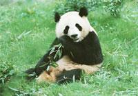 A giant panda feeding
