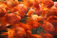 Gold fish at an aquarium in Beijing