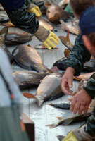 Fishing carps