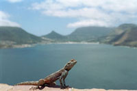 South Africa�C gecko
