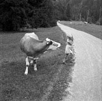 Afraid of a cow