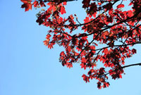Branches with red leaves and the blue sky