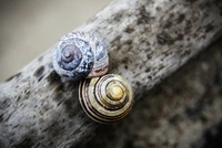 two snail shells on wood