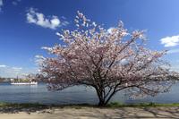 Cherrytree in blossom