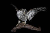 Padded sparrowhawk