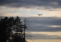 Whooper swan flying