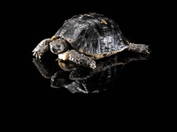 Turtle on black surface