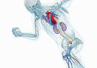 Anatomical model of running man with brain, heart, kidneys a