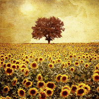 Single tree in field of golden sunflowers