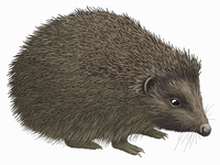 Close up of hedgehog on white background