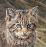 Close up of Wild cat (Felis silvestris)