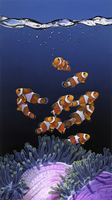 Shoal of Clownfish and Magnificent Sea Anemone