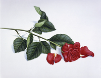Single red rose with fallen petals 20039008191| 写真素材・ストックフォト・画像・イラスト素材|アマナイメージズ