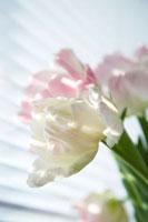 Tulips�Cclose-up