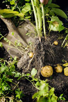 Spade digging for potatoes