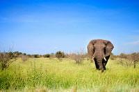 An elephant on the savanna