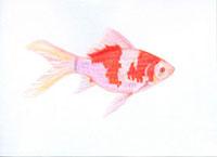 金魚 コメット 20041000107| 写真素材・ストックフォト・画像・イラスト素材|アマナイメージズ