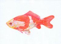 金魚 和金 20041000160| 写真素材・ストックフォト・画像・イラスト素材|アマナイメージズ