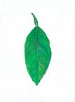 夏蜜柑の葉 20041000165| 写真素材・ストックフォト・画像・イラスト素材|アマナイメージズ