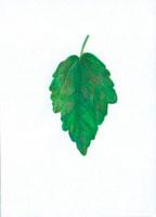 むくげの葉 20041000179| 写真素材・ストックフォト・画像・イラスト素材|アマナイメージズ