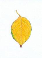 桜の落葉 20041000195| 写真素材・ストックフォト・画像・イラスト素材|アマナイメージズ