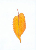 けやきの落葉 20041000196| 写真素材・ストックフォト・画像・イラスト素材|アマナイメージズ