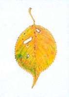 桜の落葉 20041000199| 写真素材・ストックフォト・画像・イラスト素材|アマナイメージズ