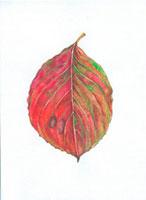 ハナミズキの落葉 20041000200| 写真素材・ストックフォト・画像・イラスト素材|アマナイメージズ