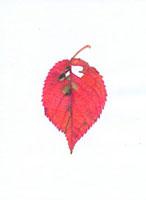 ソメイヨシノの落葉