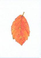 マンサクの落葉 20041000214| 写真素材・ストックフォト・画像・イラスト素材|アマナイメージズ