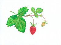 木いちご 20041000245| 写真素材・ストックフォト・画像・イラスト素材|アマナイメージズ
