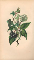 Ivy, climber with black berry clusters