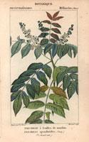 Trichilia tree, hardwood tree