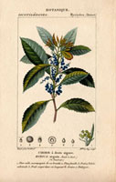 Bayberry with blue berries and jagged leaves