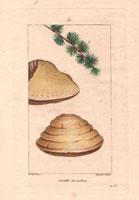 Agaric (larch) mushroom