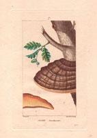 Agaric (oak) mushroom