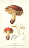 Orange boletus mushroom