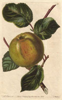 Apple, Borovitsky