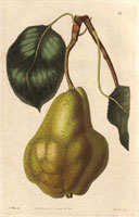 Pear, Summer bonchretien