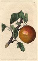 Apple, Red ingestrie