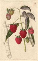 Raspberry, Red antwerp