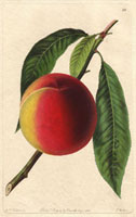 Peach, Bellegarde
