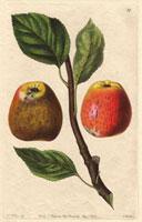 Apple, Hubbard's pearmain