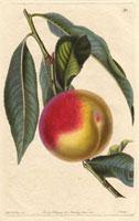 Peach, Madeleine de Courson