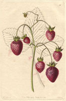 Strawberry, Prolific hautbois